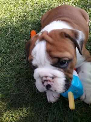 Beautiful KUSA Reg English Bulldog puppies available and ready to join their forever families!