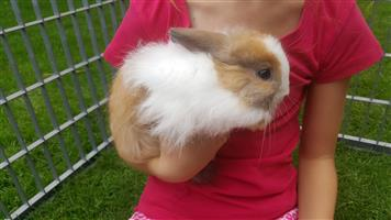 Baby dwarf Jersey wooly / Netherland bunnies for sale.