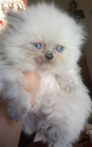 Two Persian Kittens for Sale