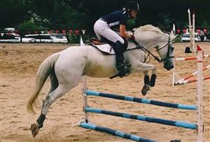 Showstopper 16.3hh Grey TB Mare For Sale