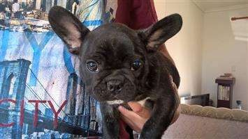 Pedigree French Bulldog puppies for sale