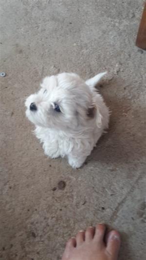 Miniature Maltese poodle puppies