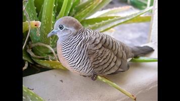 10 zebra doves for sale