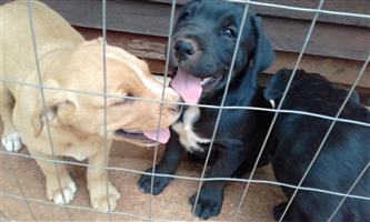 For sale labrador x boxer puppies