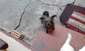 Wire hair terrier cross yorky female in need of a good loving home.