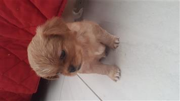 Pekingese puppies for sale.