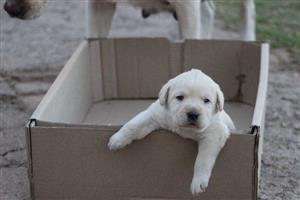 Labrador puppie available