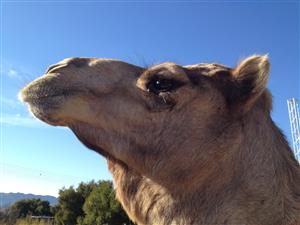 Male Camel for sale!