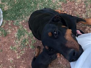 Pure bred Doberman puppies for sale