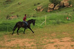 Thoroughbred Mare For Sale/ Swap