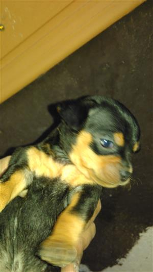 Miniature doberman pups