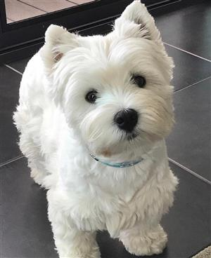 West Highland White Terriers for Sale