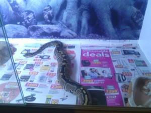 Pair of Ball pythons