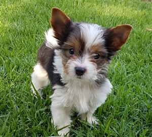 Adorable and playful Biewer Yorkie