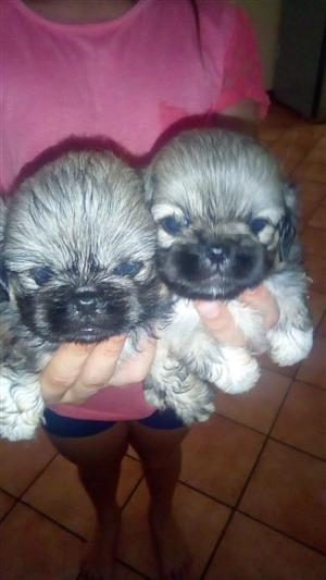 Pekingnese puppies for sale