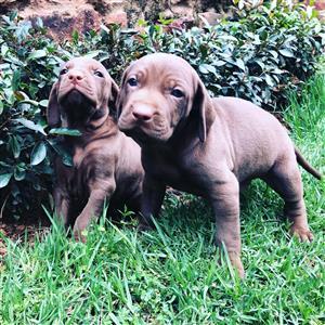 Vizmaraner Puppies