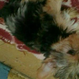 Exotic female Yorkshire Terrier puppy for sale