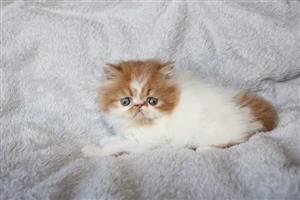 Beautiful persian and exotic kittens