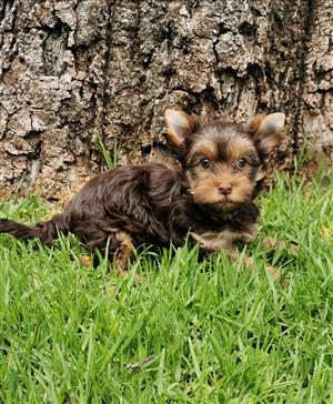 Female Chocolate Yorkie puppy