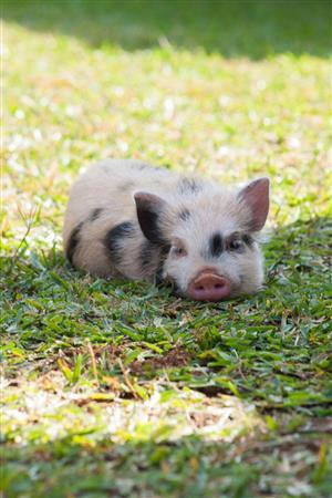 Pet piglets