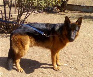 Registered German Shepherd male