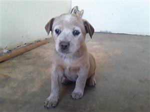 Australian Cattle Dog Pups