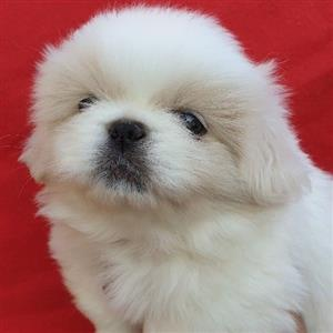 Gorgeous fluffy Purebred miniature pekingese puppies for sale.