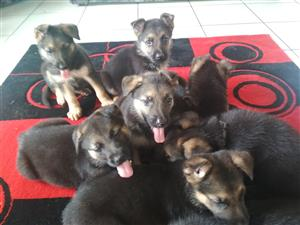 Purebred German Shepherd Puppies For Sale. 4 Males,4 Females Available