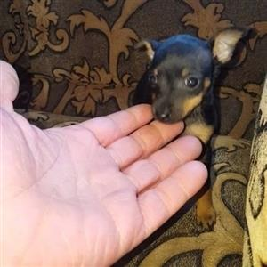 Miniature Doberman Pincher Bokkie Puppies