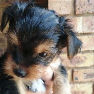 Yorkshire Terrier Chocolate/Tan for sale