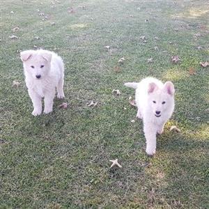 German and Swiss Shepherd pups