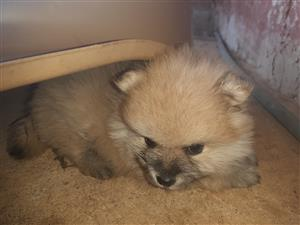 Beautiful Pure Bred Pomeranian Puppies, also called Toy Poms available to a good home
