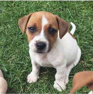 Jack Russel Pure Bred Puppies X8 Short