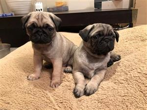 Exceptional Pug Puppies