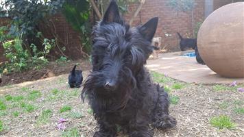 Opregte Scottish Terriers te koop