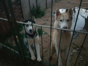 Selling siberian huskies