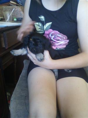 Pekingese spaniel cross puppies fore sale