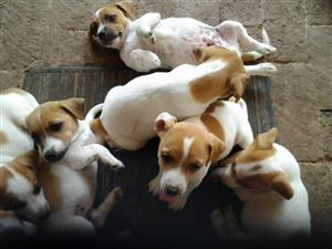 Jack Russell 8 weeks well breed short leg puppies from R1000