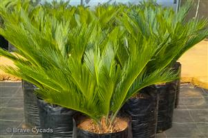 Cycas Revoluta — Dukou Cycad — King Sago Palm
