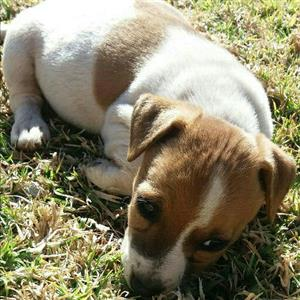 Jack russel puppies short leg