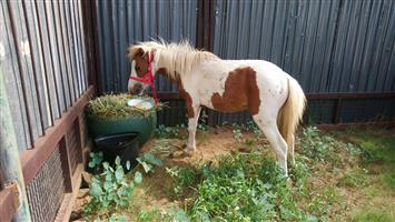 Horses and Ponies in South Africa | Junk Mail