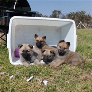 Sable shepherd puppies