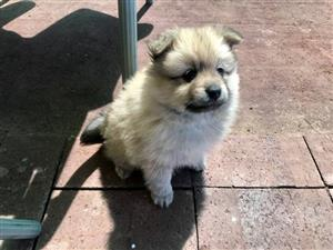 3 Pomeranian Puppies for Sale.