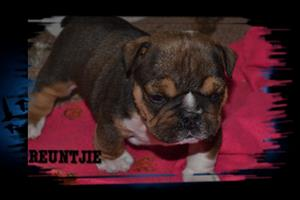 Beautiful Bulldogs puppies for sale