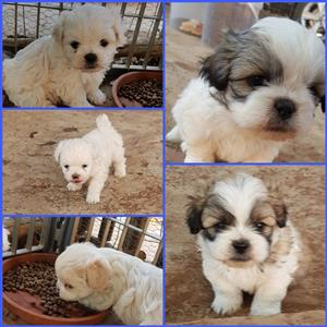 Pegitese Puppies