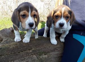 Amazing beagle puppies available