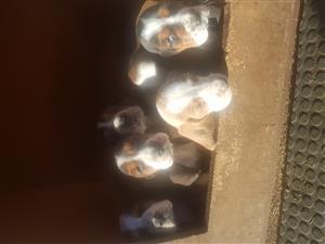 Basset puppies