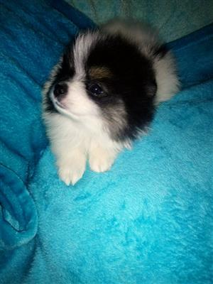 Pomeranian puppies for sale Toy pom MINIATURE FEMALES