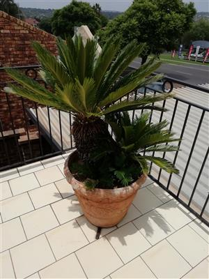 Cycas thouarsii in pot for sale. 20 years old.