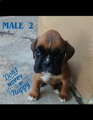 Cute boxer pups for sale